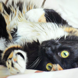 Playful Kitty by B Lynn - Animals - Cats Playing ( calico, expression, home, cat, playful, eye contact, nap, beauty, cute, pretty, eyes, hairy, cats, love, silly, pets, sleepy, feline, kitty, look, bed, play, sleep, calico cat, pet portrait, sweet, pet portraits, fluffy, pet, rest )