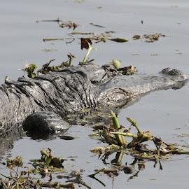Gator by Jim Powell - Animals Reptiles