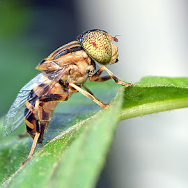 Tuing....Tuing... by Just Arief - Animals Insects & Spiders ( fly, insect, close up, natural, photography )