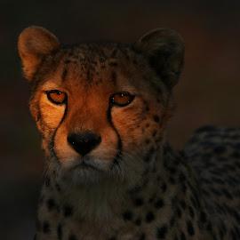 Catching the last sunlight  by Tazi Brown - Animals Lions, Tigers & Big Cats ( cheetah, spots, cat, last sunlight, evening sun, golden hour )