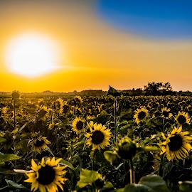 Sunsetflower by Darrin Ralph - Flowers Flowers in the Wild ( field, sunset, yellow, sun, sunflower )