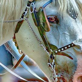 Profile by Radu Eftimie - Animals Horses ( horse, head, prfile )