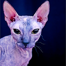 Sphynx Cat by Alida du Toit - Animals - Cats Portraits
