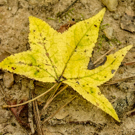The Yellow Leaf by Thomas Vasas - Nature Up Close Leaves & Grasses ( macro, nature, leaf, leaves )