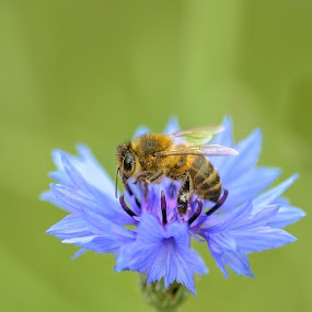 Always working by Louis Heylen - Animals Insects & Spiders