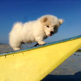 Shiadoui by Dickson   Shia - Animals - Dogs Puppies ( beach, pup, dog, pet )