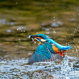 vodomec3 by Milan Mihalič - Animals Birds (  )