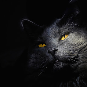 Glamorous by Corinne Noon - Animals - Cats Portraits ( smokey, animals, cat, whiskers, eyes )