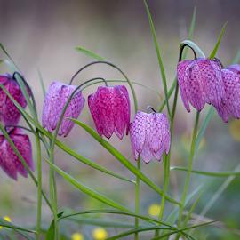 Laleaua pestrita by Adrian Urbanek - Flowers Flower Arangements