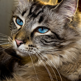 by Nicholas Conn - Animals - Cats Portraits ( kitten, cat, pet, whiskers, blue eyes, feline, eyes, animal, pwc84 )