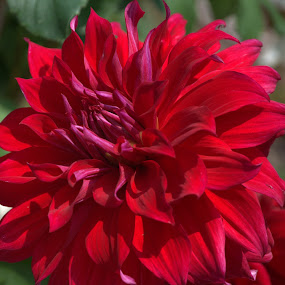 Red for Love by Larry Bidwell - Flowers Single Flower