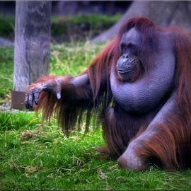 orangutan by Nic Scott - Animals Other Mammals ( orangutan, animal,  )