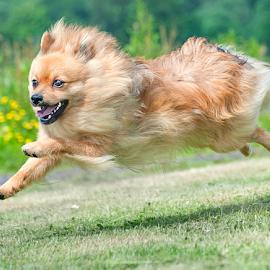 freedom by Michael  M Sweeney - Animals - Dogs Puppies ( natural light, scotland, speed, joy, michael m sweeney, run, nikon dog, d3, joyfull, happy, fur, puppy, dog, nikon )