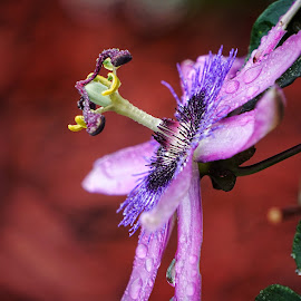 Passion flower  by Todd Reynolds - Flowers Single Flower