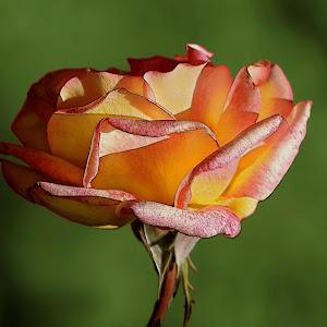 Rose Yellow red4 emboss.JPG