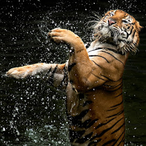 Jump by Toni Panjaitan - Animals Lions, Tigers & Big Cats ( animals, protected, tiger, carnivora, bigcat )
