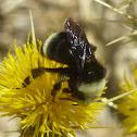 Yellow faced bumblebee