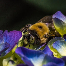 Bumble bee in hydrangea by Darleen Stry - Nature Up Close Other Natural Objects