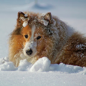 Shetland sheepdog by Allan Wallberg - Animals - Dogs Playing ( playing, winter, snow, shetland sheepdog, dog, sheltie, , animal snow  )