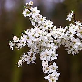 Loads O' Blossom by Chrissie Barrow - Flowers Tree Blossoms ( orange, stigma, stamens, tree, petals, dark, white, buds, flowers, bokeh, spring, blossom )