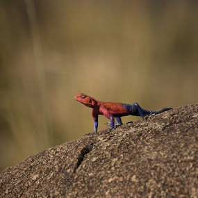 Spider Man by VAM Photography - Animals Reptiles ( lizard, nature, tanzania, reptile, animal,  )