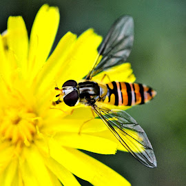 Yellow jacket by Heather Aplin - Animals Insects & Spiders ( jacket, stripy, wild, petals, weed, translucent, yellow, insect, flying, wings, summer, garden, flower )