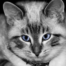 Sam - Close-up by Julie Wooden - Animals - Cats Portraits ( kitten, cat, north dakota, b&w, selective color, black and white, hebron, male, indoors, mammal, sam, autumn, blue, fall, feline, animal,  )