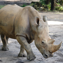 by Keith Heinly - Animals Other Mammals ( animal kingdom, florida, land, disney, rhino )