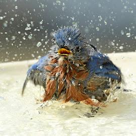 Bath time by Steven Liffmann - Animals Birds ( eastern bluebird )