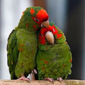 Lovers by Wilson Beckett - Animals Birds (  )