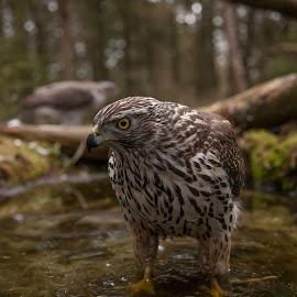 Young goshawk bathes by Dag Brynjelsen - Animals Birds