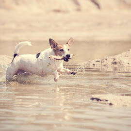 Water fun by Wilma Heuvel - Animals - Dogs Running ( jack russell, dogs, honden, happy, pets, dog )