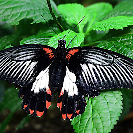 Butterfly by Debra Branigan - Animals Insects & Spiders ( butterfly, animals, tropical, insects and spiders, photography )