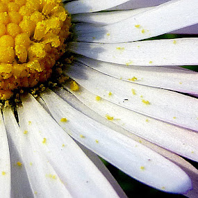 quarter of daisy by Jasminka Lunjalo - Nature Up Close Flowers - 2011-2013 ( daisy, flowers )