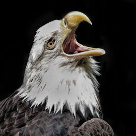 Eagle scream by Margie Troyer - Animals Birds