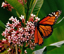 Monarch butterfly endangered species