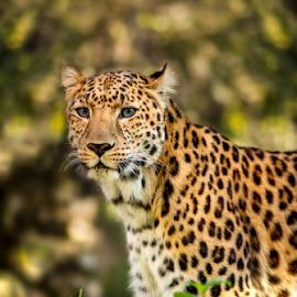 Soft leopard by Mauritz Janeke - Animals Lions, Tigers & Big Cats ( predator, hunter, big cats, pantera, uae, mauritz, leopard,  )