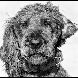 Labradoodle by Dave Lipchen - Black & White Animals ( labradoodle )