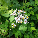 Calico Aster