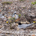 Little Tern; Charrancito