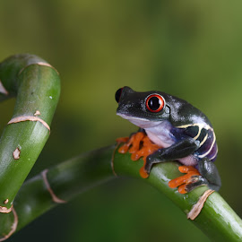 Chilean Red-eyed Tree frog sitting on bamboo by Fiona Etkin - Animals Amphibians ( bamboo, big eyes, nature, frog, amphibian, chilean red-eyed tree frog, animal )