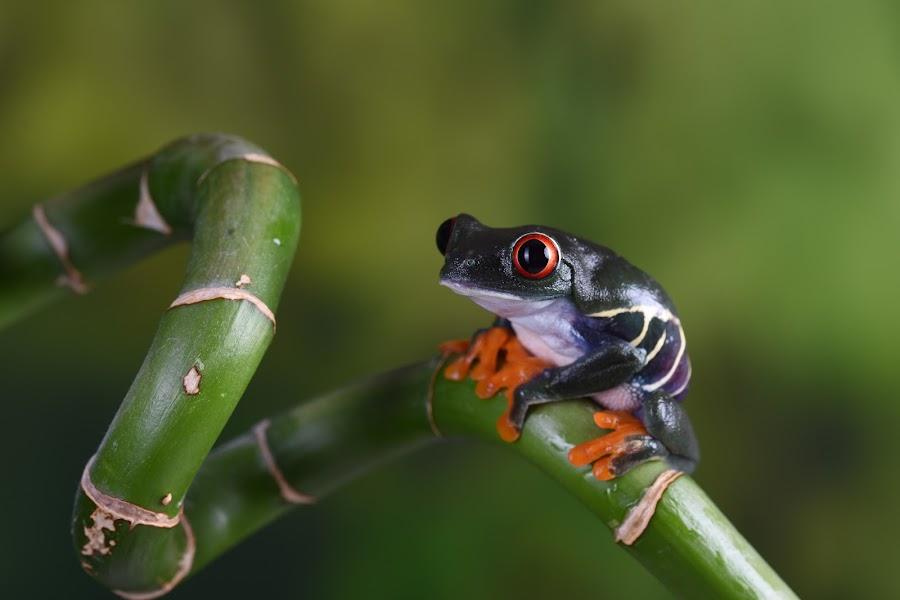 Chilean Red-eyed Tree frog sitting on bamboo by Fiona Etkin - Animals Amphibians ( bamboo, big eyes, nature, frog, amphibian, chilean red-eyed tree frog, animal,  )