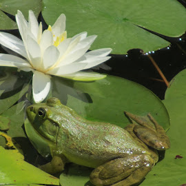 frog on the lilly pad by Kathy Kirkpatrick - Animals Amphibians ( frog lilly pad green pond flower,  )