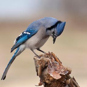 by Anita Frazer - Animals Birds ( bird, perched, blue jay, animal,  )
