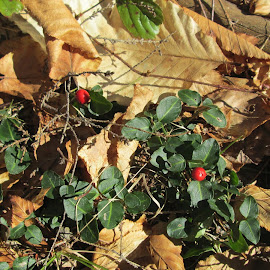 Wintergreen with berries by Mike Kennedy - Nature Up Close Other plants ( red berries, maine, waxy leaves, wintergreen, edible )