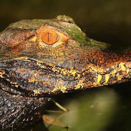 Caïman nain by Gérard CHATENET - Animals Amphibians