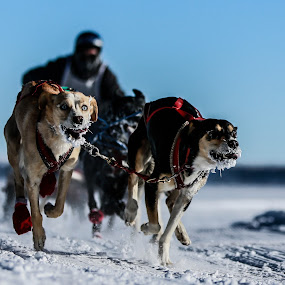 Bob-Sledin by Preston Trauscht - Animals - Dogs Running ( bob, dogs, flagstaff, snow, pwcmovinganimals, sled, run, running, race, bob-sled, competition, animal, motion, animals in motion, pwc76 )