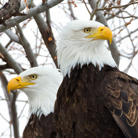 American Bald Eagle in Pair by Eva Lee - Animals Other ( freedom, pair, states, wildlife, usa, nature, partners, american, raptor, couple, perch, closeup, animal, united, park, symbol, male, bald eagle, white, prey, team, double, portrait, bird, resting, winter, sitting, female, klamath falls wildlife refuge, outdoor )
