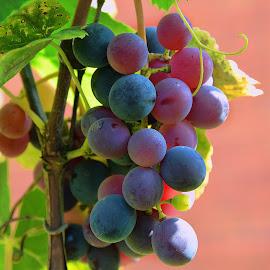 grape in my garden by LADOCKi Elvira - Nature Up Close Gardens & Produce