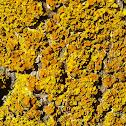 Pin-cushion Sunburst Lichen